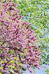 Redbud tree (Cercis siliquastrum) in blossom