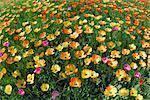 Champ de tulipes multicolores, Bade-Wurtemberg, Allemagne