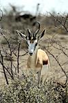 Springbok, le Parc National d'Etosha, région de Kunene, Namibie