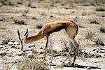 Springbok pâturage, Parc National d'Etosha, région de Kunene, Namibie