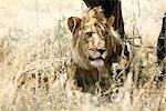 Lion en herbe, Parc National d'Etosha, région de Kunene, Namibie
