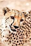 Close-up of Cheetah, Damaraland, Namibia