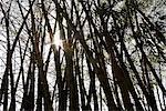 bamboo tree with stalks and sunlight bursting through