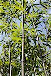 tige de bambou avec des feuilles vertes