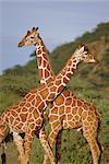 Giraffe, Sambura, Kenya, Africa