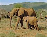 Éléphants, réserve nationale de Samburu (Kenya)