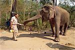Tourisme alimentation bananes à un éléphant dans le camp d'éléphant près de Chiang Mai, Thaïlande, Asie du sud-est, Asie