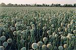 Onion fields in Gujarat State, India, Asia