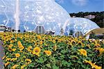 Sonnenblumen und den feuchten Tropen BioM, The Eden Project, in der Nähe von St. Austell, Cornwall, England, Vereinigtes Königreich, Europa