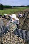Potato harvest, Hokkaido, Japan, Asia