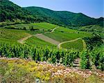Vineyard near Ahrweiler, Ahr River Valley, Rhineland Palatinate, Germany