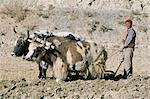 Charrue à Yak en champ d'orge élevée sur le Plateau tibétain, Tibet, Chine, Asie