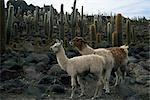 Llamas and cacti, Inkahuasa Island, Salar de Uyuni, Bolivia, South America