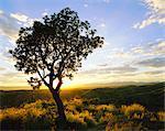 Arbre en silhouette au lever du soleil, Daan Viljoen Game Park, près de Windhoek, Namibie