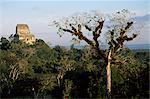 Cèdre avec bromeliades, Temple 4 au-delà, Tikal, patrimoine mondial de l'UNESCO, au Guatemala, Amérique centrale