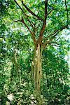 Strangular figuier dans la forêt, le Parc National de Cape Tribulation, Queensland, Australie
