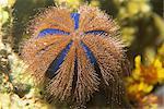 Sea urchin, Sabah, Malaisie, Bornéo, l'Asie du sud-est, Asie