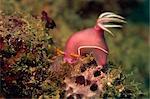 Nudibranche (Chromodoris Bullocki) se nourrissant d'algues, Sabah, Malaisie, Bornéo, l'Asie du sud-est, Asie