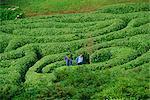 Two people lost in Glendurgan Maze, near Falmouth, Cornwall, England, United Kingdom, Europe