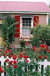 Maison de plain pied et rose clôture couverte, Nouvelle Zélande, Pacifique