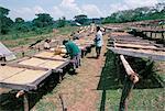 Drying coffee, Kaffa, Ethiopia, Africa