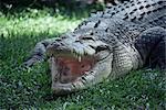 Twenty four foot saltwater crocodile (Crocodilus porosus), Hartleys Creek, Queensland, Australia, Pacific
