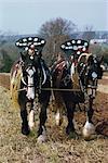 Décorées de chevaux shire tirant une charrue dans Cornwall, Angleterre, Royaume-Uni, Europe