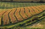 Champs de maïs près de Geaune, Landes, Aquitaine, France, Europe