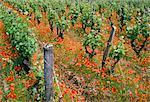 Vineyards near Sauterne, Gironde, Aquitaine, France, Europe