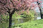 Blossom, Regents Park, London, England, United Kingdom, Europe
