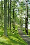 Chemin d'accès et de la lumière du soleil à travers les arbres de pin, Burtness Wood, près de Buttermere, Parc National de Lake District, Cumbria, Angleterre, Royaume-Uni, Europe