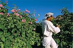 Cutting roses, village of Al Ain, Al Jabal Al Akkar region, Sultanate of Oman, Middle East