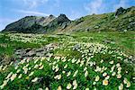 Mountain flowers, Hakusan National Park, Japan