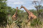 Réticulé girafe, Parc National de Meru, Kenya, Afrique de l'est, Afrique