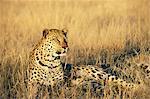 Léopard, Panthera pardus, en captivité, Namibie, Afrique