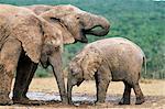 African elephant, Loxodonta africana, Addo National Park, South Africa, Africa