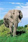 Bull éléphant d'Afrique, Loxodonta africana, Parc National d'Etosha, Namibie, Afrique