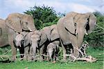 Éléphants d'Afrique, Loxodonta africana, groupe maternelle avec bébé, Parc National d'Etosha, Namibie, Afrique