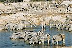 Burchell's zebra, Equus burchelli, at waterhole, Etosha National Park, Namibia, Africa