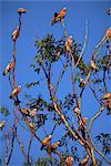 Galahs, Cacatua roseicapilla, Batchelor, Northern Territory, Australia, Pacific