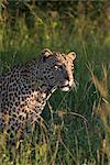 Léopard (Panthera pardus), Parc National de Kruger, Afrique du Sud, Afrique