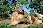 Kangourou rouge, Macropus rufus, Cleland Wildlife Park, South Australia, Australie