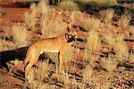Dingo, Canis familiaris dingo, Centre rouge, Northern Territory, Australie, Pacifique