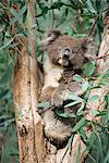 Koala bear, Phascolarctos cinereus, chez les feuilles d'eucalyptus, Gorge Wildlife Park, South Australia, Australie, Pacifique