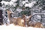 Mère de cerfs-mulets et fauve dans la neige, Boulder, Colorado, États-Unis d'Amérique, l'Amérique du Nord