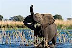 African Elephant, (Loxodonta africana), Chobe River, Chobe N.P., Botswana
