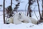 Ours avec les oursons, (Ursus maritimus), Churchill, Manitoba, Canada