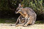 tammar Wallaby (Macropus eugenii), Flinders Chase N.P., Kangaroo Island, Australie-méridionale, Australie