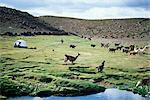 Lamas en passant tente et backpacker, Parque Nacional Volcan Isluga (Parc National du Volcan Isluga), Chili, Amérique du Sud