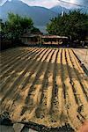 Grains de café de séchage dans le soleil, San Pedro, lac Atitlan, au Guatemala, Amérique centrale